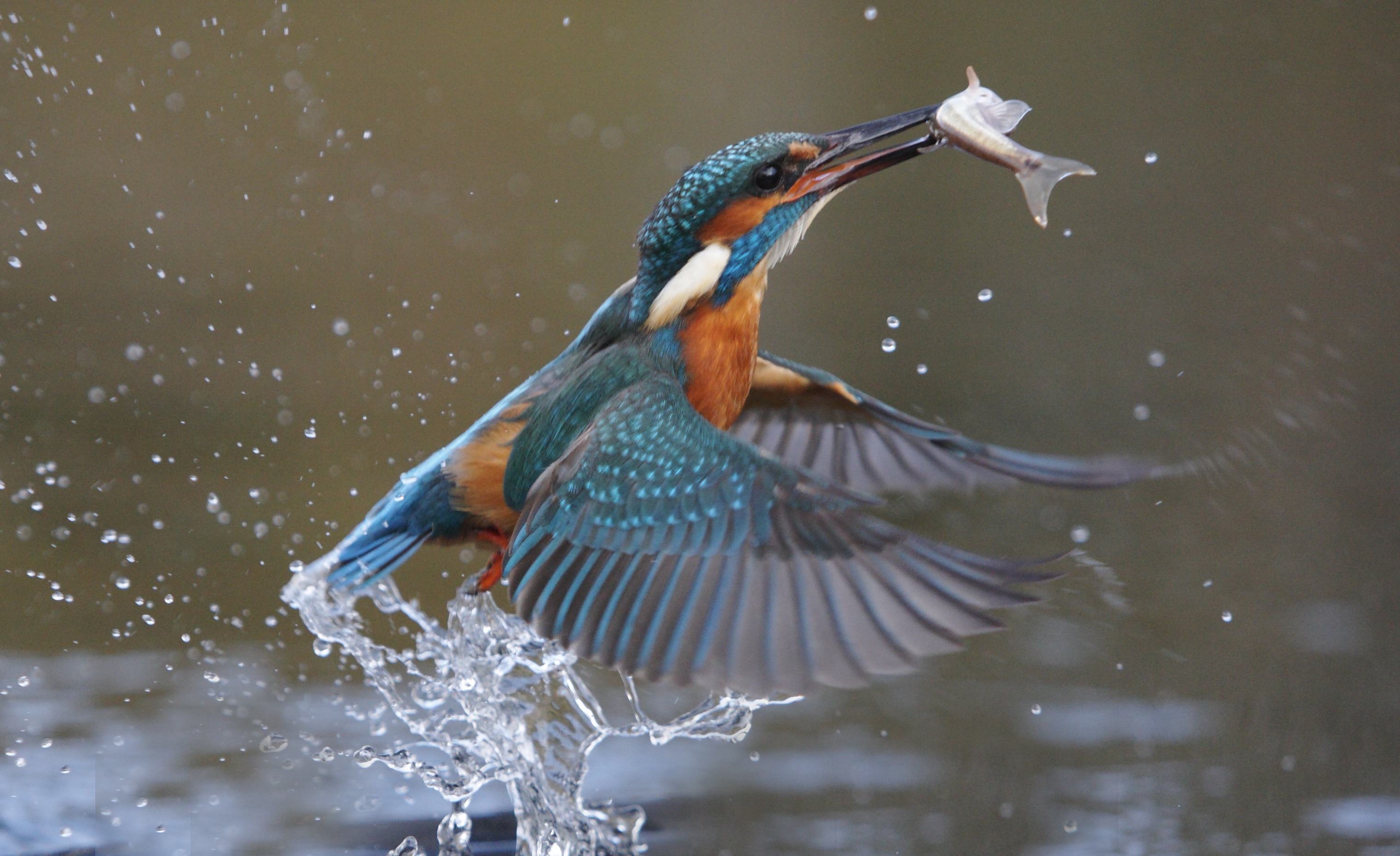 Kingfisher, Alcedo atthis, Single bird diving for fish
