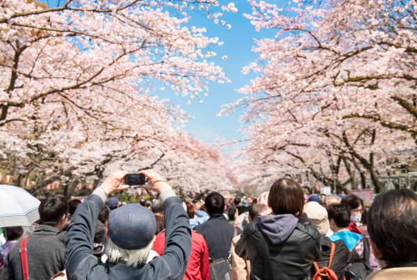 Japan Cherry Blossom Crowded