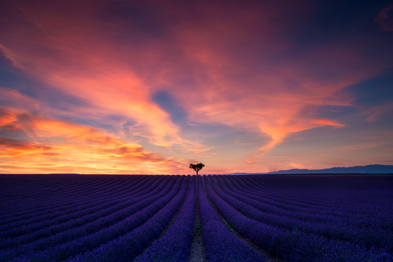 lonely tree in lavender